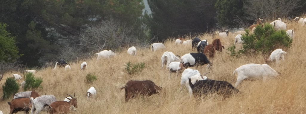 goats-cropped